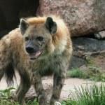 Drooling Hyena — Stock Photo #4047333