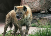 Drooling Hyena — Stock Photo