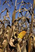 Autumn Corn Field — Stock Photo