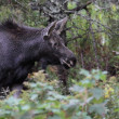 Moose on the Move — Stock Photo