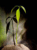 Mango seedling — Stock Photo