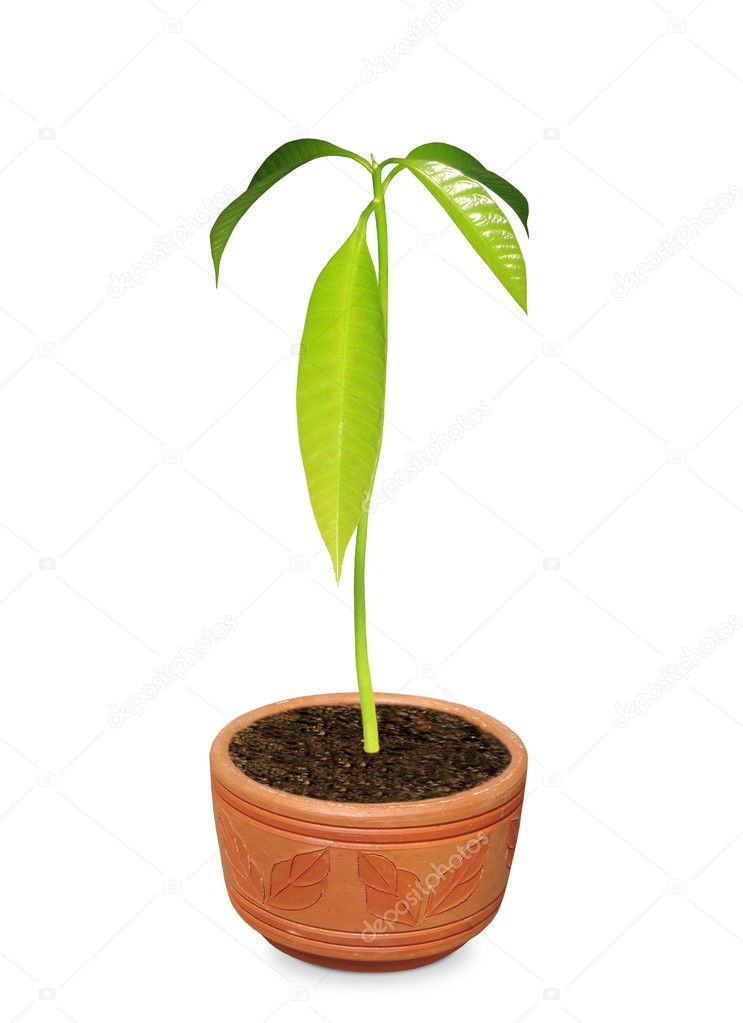 Images of Mango Plant Mango Plant on a Clay Pot Over