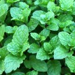 Fresh green mint leaves — Stock Photo