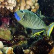 Blue Throated Trigger Fish — Stock Photo #3991086