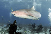 Tiger Shark — Stockfoto