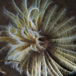 Feather Duster Worm — Stock Photo #4429163