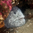 Wolf Eel — Stock Photo