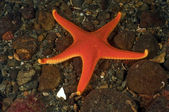 Vermilion Sea Star — Stock Photo
