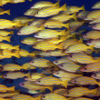 Stock Photo: Schooling Blue Striped Snappers