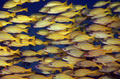 Schooling Blue Striped Snappers — Stock Photo