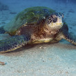 Green Sea Turtle — Stock Photo #4830500