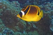 Raccoon Butterfly Fish — Stock Photo