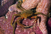 Kelp Crab — Foto Stock