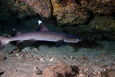 White Tip Reef Shark — Stock Photo