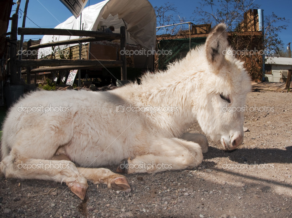 A wild baby burro taking time out in Oatman, Arizona — Stock Photo #5110925