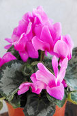 Pink cyclamen — Stock Photo