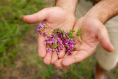 Wild thyme in hands — Stock Photo