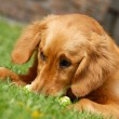 Stock Photo: Golden retriever portrait