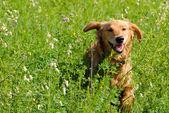 Sourire de chien — Photo