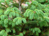 Green fir branch — Foto Stock