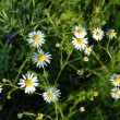 Daisy meadow — Photo