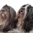 Two Tibetan Terrier dogs — Stock Photo