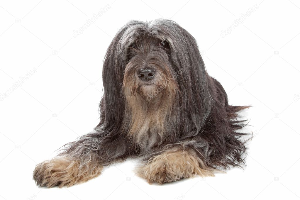 Tibetan Terrier isolated on white — Stock Photo #4099706