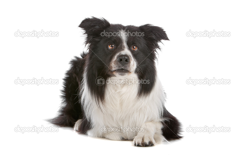 A border collie sheepdog isolated on a white background  Stock Photo #4106203