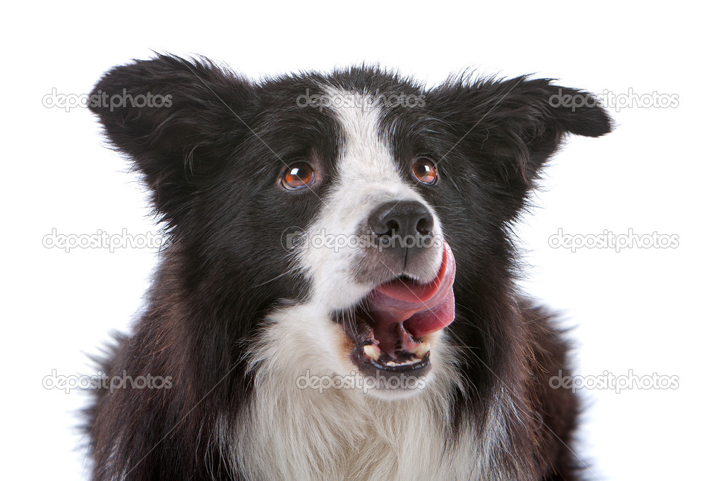 A border collie sheepdog isolated on a white background — Lizenzfreies Foto #4106362