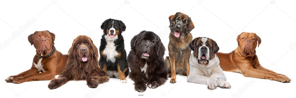 Large group of big dogs in a row, isolated on a white background — Stock Photo #4427178