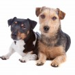 Jack Russel Terrier and mixed breed dog — Stock Photo #4441774