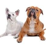 Old english bulldog, mix french bulldog/cattle dog — Stock Photo