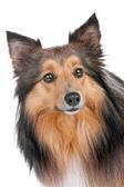 Portrait of a sheltie dog — Stock Photo