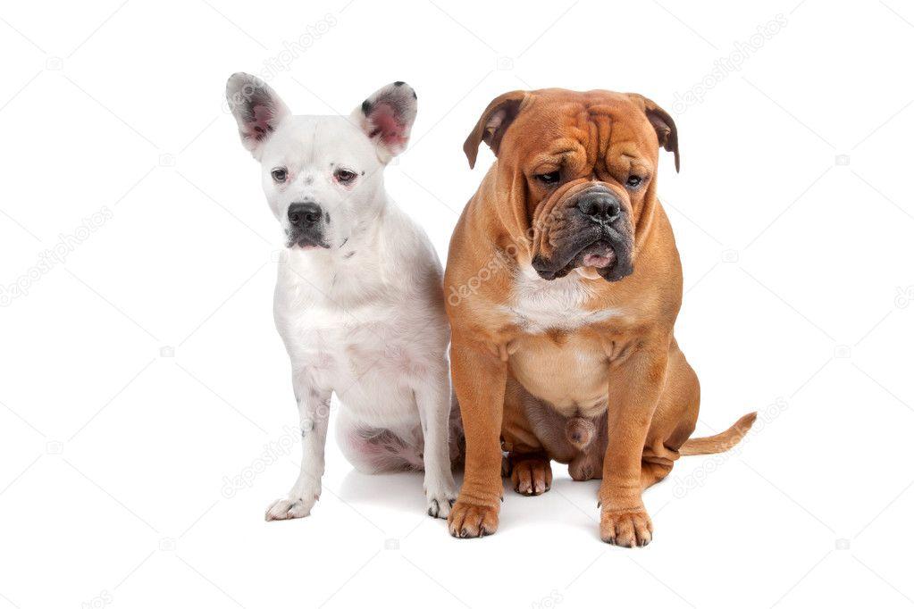 Old english bulldog, mix french bulldog/cattle dog — Stock Image ...