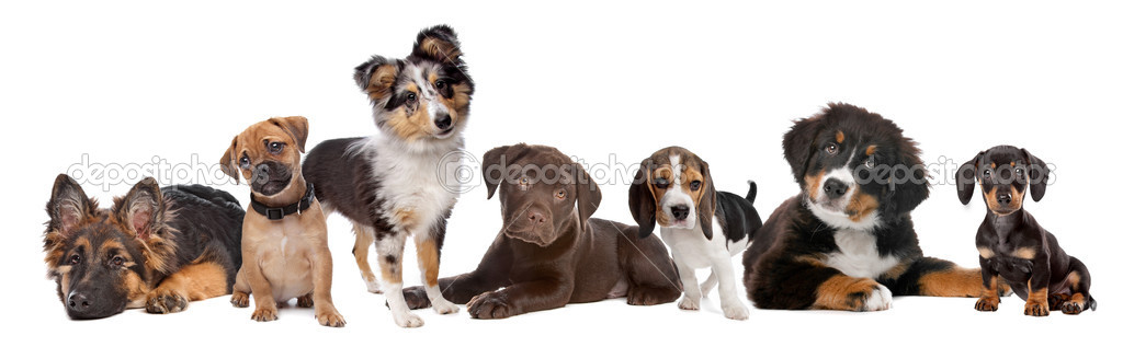 Large group of puppies on a white background.from left to right,German Shepherd, mixed breed pug, shetland sheepdog,chocolate Labrador,Beagle,Bernese Mountain   — Stock Photo #5192559