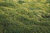 Large field of Yellow Chrysanthemums — Stockfoto