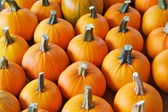 Rows of pumpkins — Stock Photo