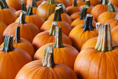 Rows of pumpkins perspective — Stock Photo