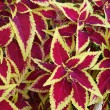 Stock Photo: Coleus bush