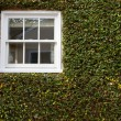 Green ivy covered wall with white window — Stock Photo