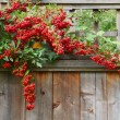 Red pyracantha berries fence close — Stock Photo