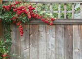 Röd pyracantha bär staket — Stockfoto