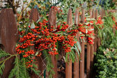 Red berry decorated fence — Stock Photo
