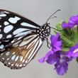 Stock Photo: Black and White Butterfly sitting on pretty purple flower