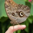 Stock Photo: Brown butterfly sits on persons finger and does wee
