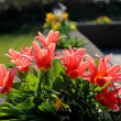 Bright Red Tulips in a Pretty English Country Garden — Stock Photo