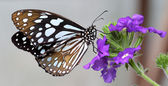 Black and White Butterfly sitting on pretty purple flower — Stock Photo