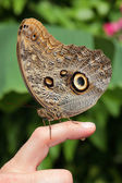 A brown butterfly sits on persons finger and does a wee — Stock Photo