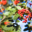 Ripe red wild rowan — Stock Photo
