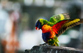 Colorful Australian Rainbow Lorikeet with Wings Outstretched — Stock Photo